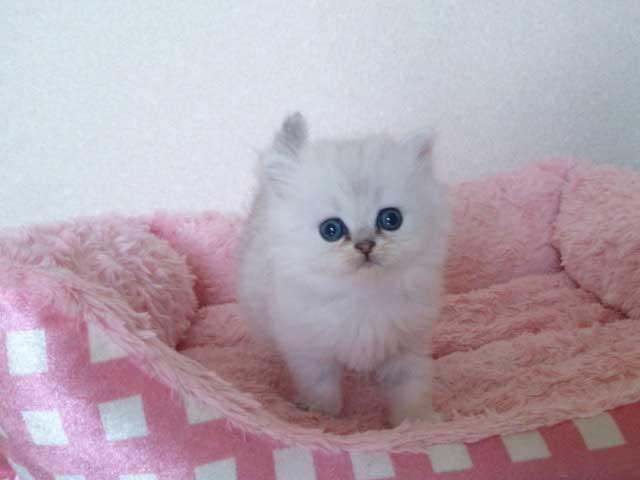 猫の写真はイメージです。こちらの猫ではございません。 ペルシャ猫